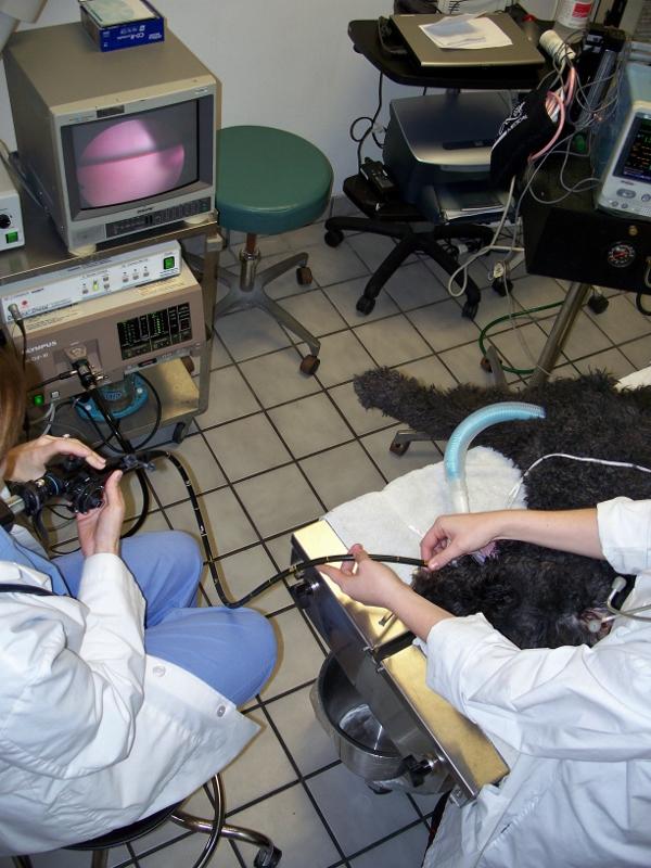 Endoszkópos vizsgálat kutyában