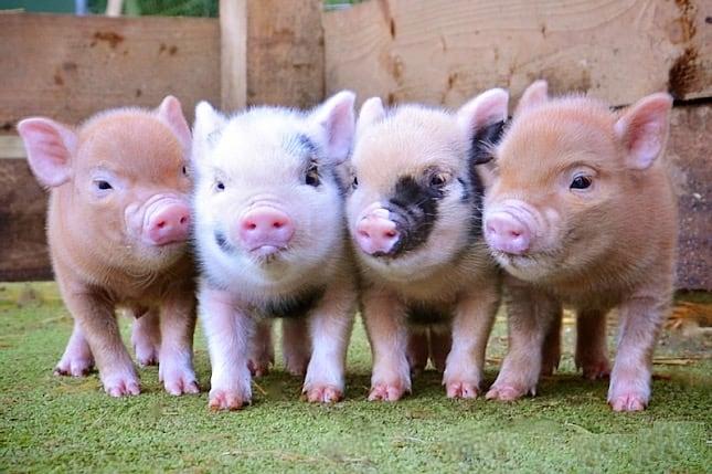 2006 óta tilos az élelmiszertermelő állatoknak megelőzési és növekedésserkentési hormont adni