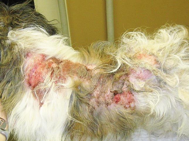 bolhanyál allergia kutyán