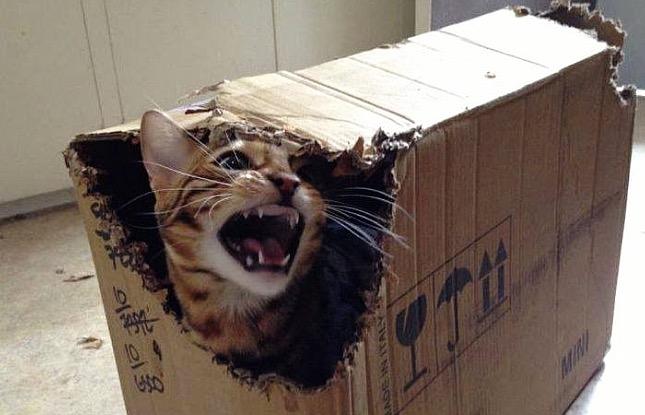 cica a dobozban