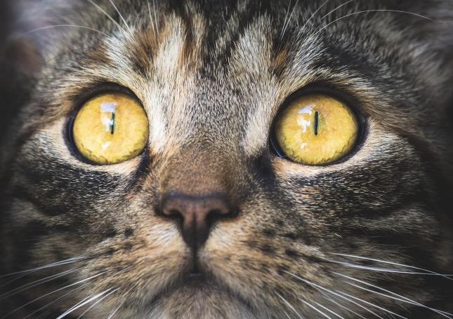 cica kórelőzménye