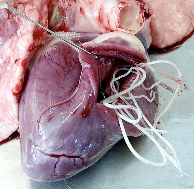 szívféreg