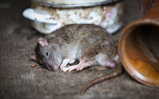 elpusztult patkány amit elfogyaszhat a kutyánk vagy macskánk