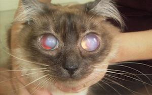 glaukóma macska esetében