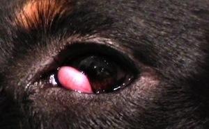 A harmadik szemhéj mirigyének előesése