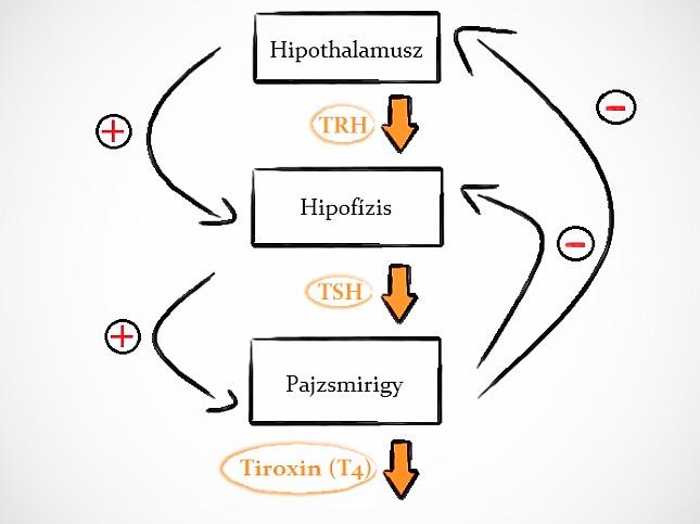 hormontermelés