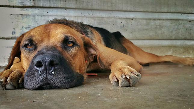 influenzás kutya