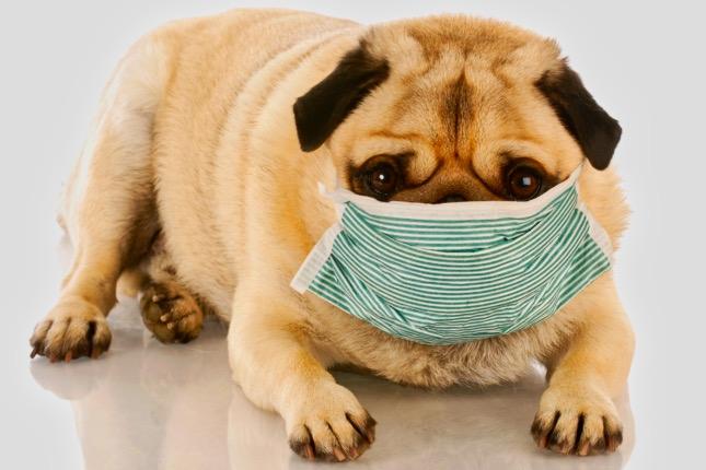 kennel köhögés okai, tünetei és kezelése