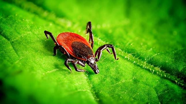 A lyme kórt terjesztő kullancsfaj, az Ixodes ricinus, nősténye.