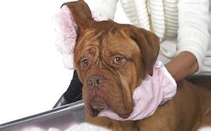 Kutya fültisztítása