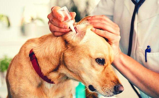 Kutya fültisztítása otthon - a helyes módon