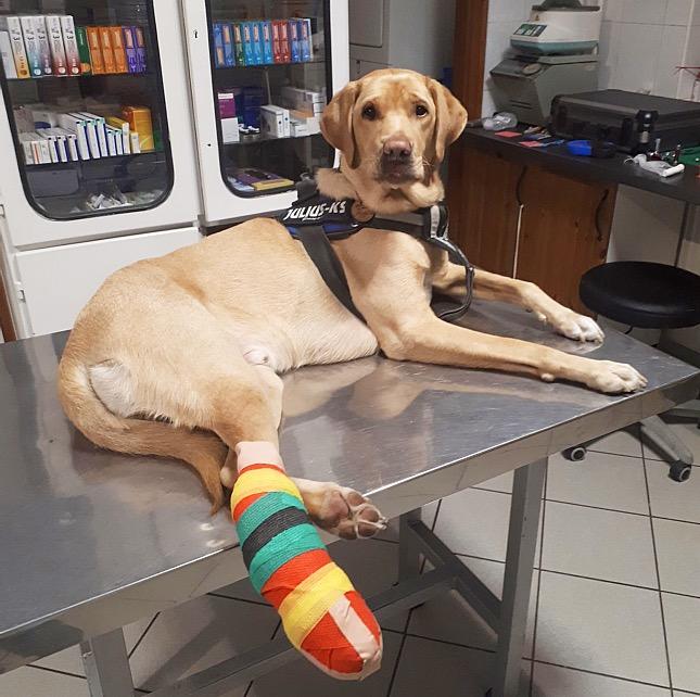 Sérült lábú kutya a rendelőben