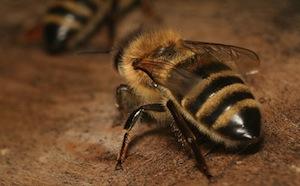 Rovarcsípés méhcsípés