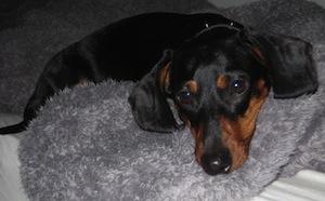 torokgyulladás kutyáknál