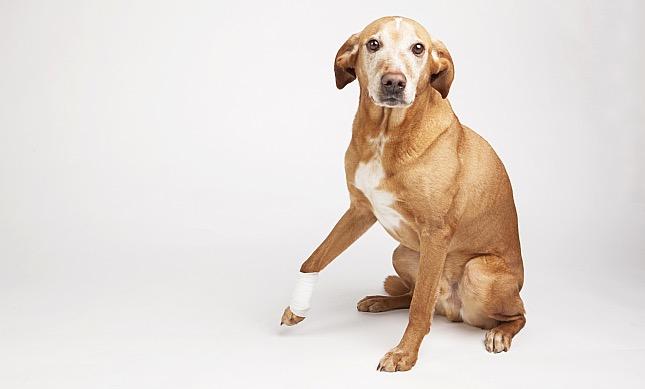 Végtagfájdalom kutyáknál