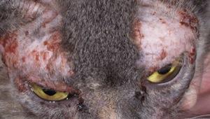 macska allergiás bőrbetegsége
