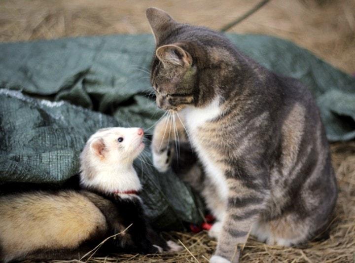 Macska és görény