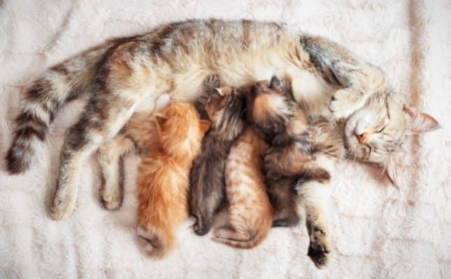macska ivartalanítási akció