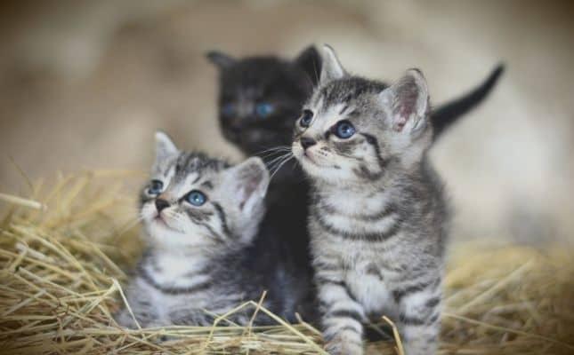Az ivartalanított cicák hosszabb és egészségesebb életet élnek.