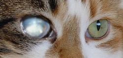 Macska szürkehályog