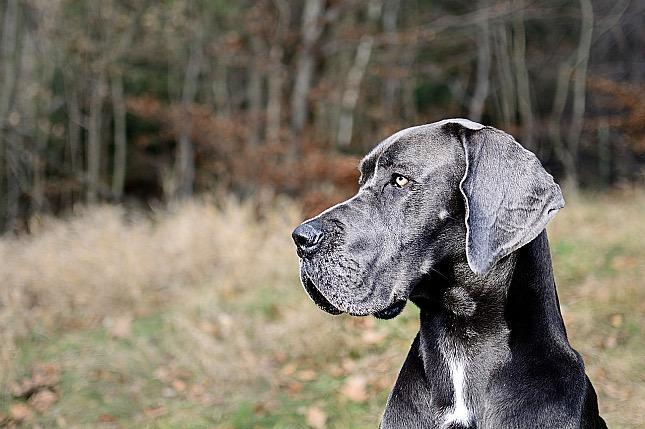 német dog - nagytestű kutyák esetében fokozottan ügyelni kell a bélcsavarodásra