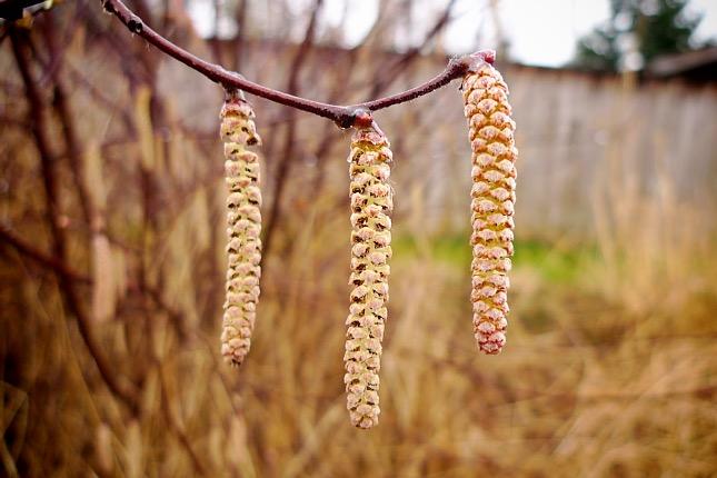 Barka ág a természetben - növényi pollenek is okozatnak allergiás tüneteket