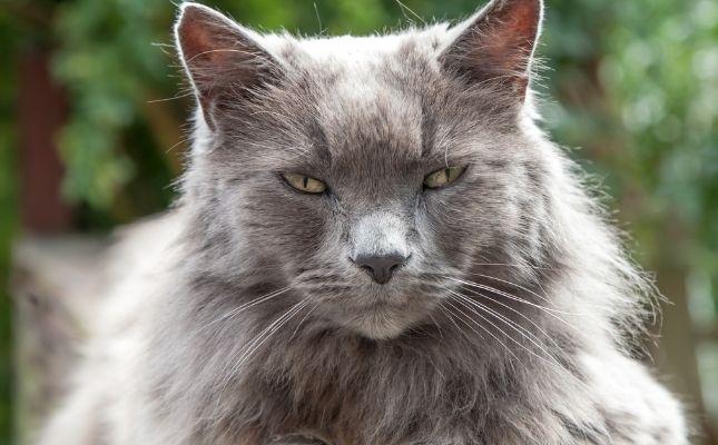 Öreg cica