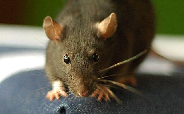Patkányirtás Budapesten - mérgezésveszély