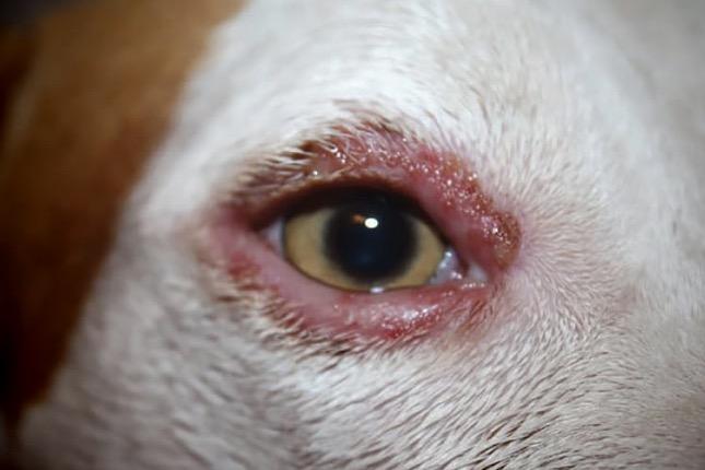 szemhél gyulladás kutyánál