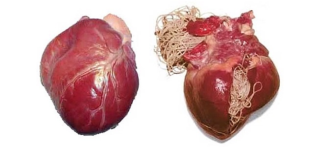 Kifejlett szívférgek a kutya szívében
