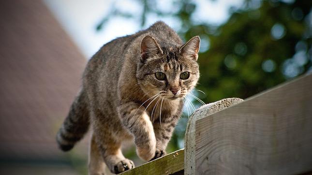 vadászó macska amelyik kijárós életmódot folytat