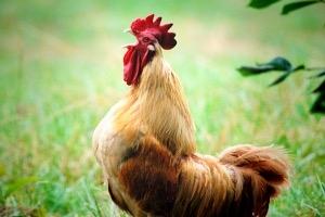 Tévhit, hogy csirke a leggyakoribb táplálék eredetű allergén