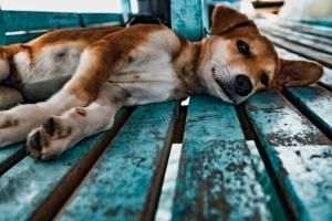 Kutyák és macskák műtét utáni sebvédelme