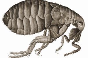 Bolhásság és a bolhanyál allergia