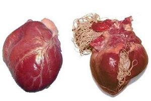 Szívférgesség (d.immitis) - amit tudni kell róla 1. rész
