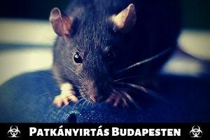 Szigorított patkányirtás Budapesten
