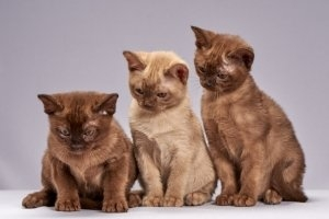 Macska oltások