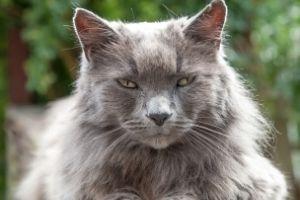 9 egészségügyi probléma idős macskáknál